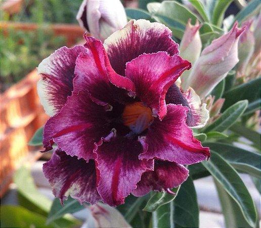 Rosa do deserto perfumada DARK SIDE - 12 Meses