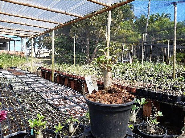 Planta Thai SNP (Suay Nam Petch) 6 meses - Rosa do Deserto N 20