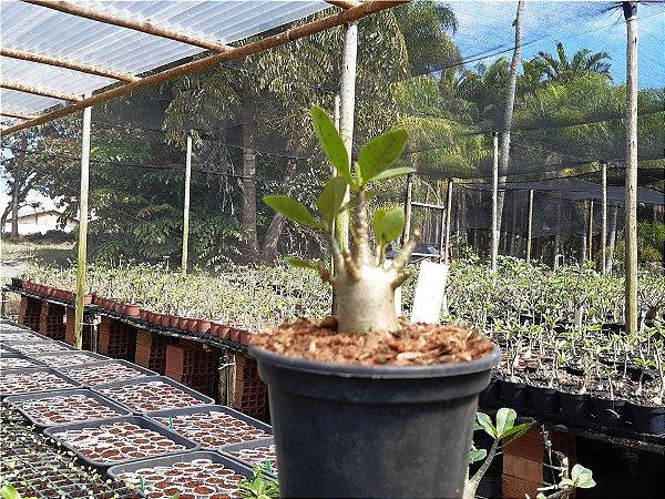 Planta Thai SNP (Suay Nam Petch) 8 meses - Rosa do Deserto N 21