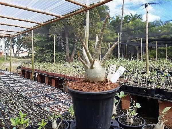 Planta Thai RCN (Rachinee) 10 meses - Rosa do Deserto N 28