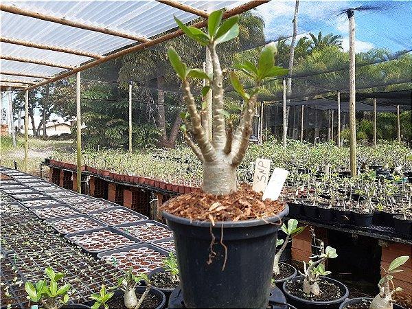 Planta Thai SNP (Suay Nam Petch) 11 meses - Rosa do Deserto N 29