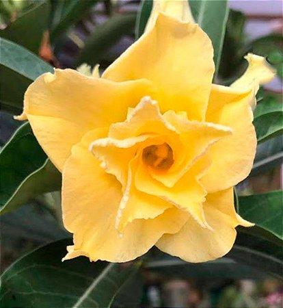 Rosa do deserto amarela dobrada AURORA  1 ano