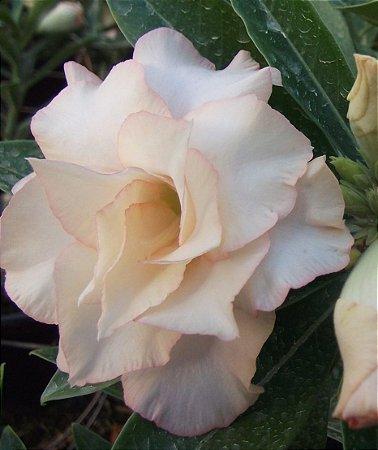 Rosa do deserto dobrada TS 27 -  1 ano