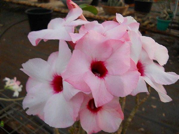 Rosa do deserto na cor ROSA -  LUCKY PINK  - 12 Meses