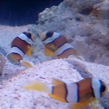 Peixe Palhaço Amphiprion clarkii