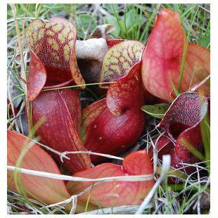 Planta Carnívora Sarracenia Purpurea