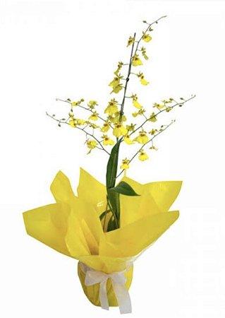Orquídea Chuva de Ouro Embalada