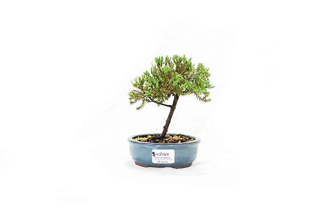 Bonsai Juniperus Procumbens 2 anos