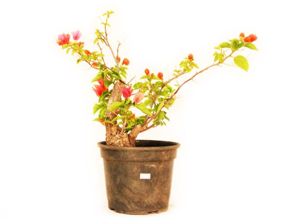 Pré Bonsai/Muda Primavera Vermelha (Bougainvillea) 2 anos