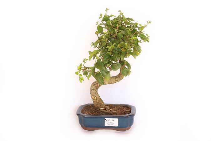 Bonsai Ligustro 4 Anos