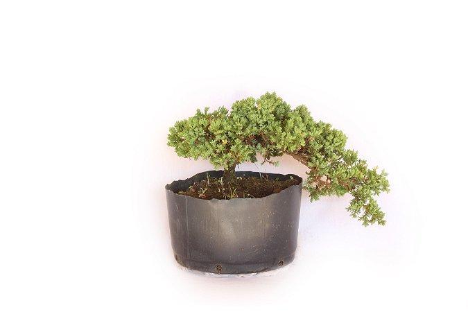 Pré Bonsai Juniperus Procumbens 3 Anos