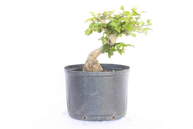 Pré Bonsai Ligustro 3 Anos