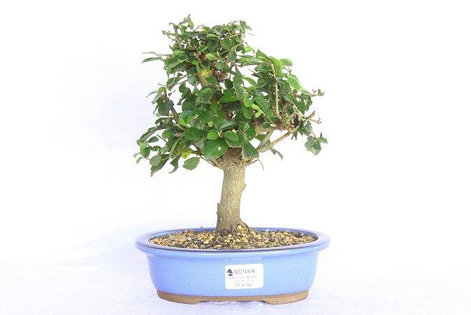 Bonsai Grewia Occidentalis (Flor de Lótus) 5 Anos