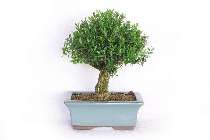 Bonsai Buxus Harlandi 7 Anos