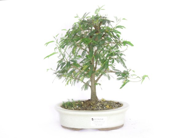 Bonsai Caliandra Rosa 4 Anos