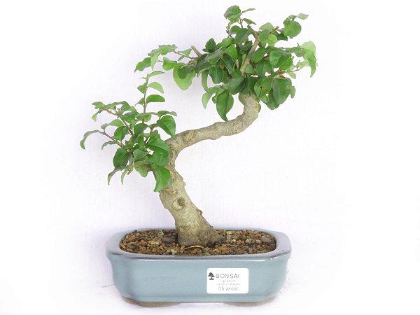 Bonsai Ligustro 5 Anos