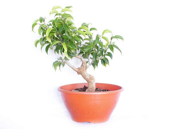 Pré Bonsai Ficus Boni 3 Anos