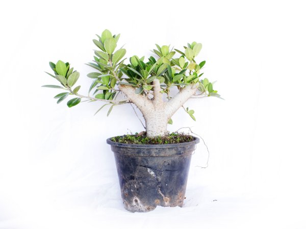 Alporque Ficus Formosana (Green Island)