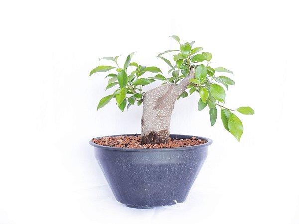 Alporque Ficus Tiger Bark (Microcarpa)