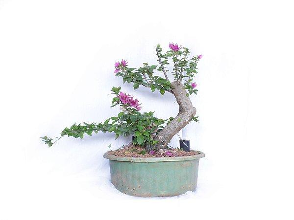 Pré Bonsai Primavera Rosa (Bougainvillea) 6 Anos