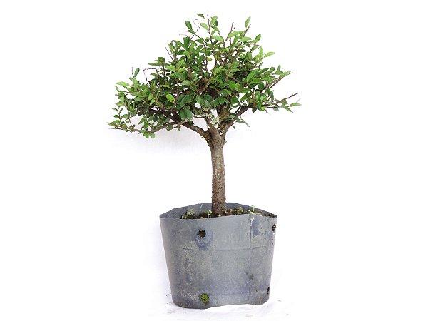 Pré Bonsai Ulmus Parvifolia 2,5 Anos