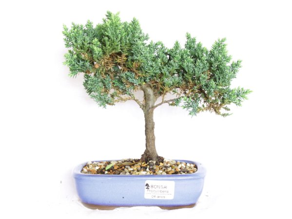 Bonsai Juniperus Procumbens 4 Anos