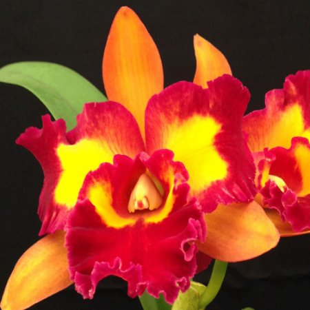 Blc. Nobile´s Tropical Sunset 'Tao' - Adulta