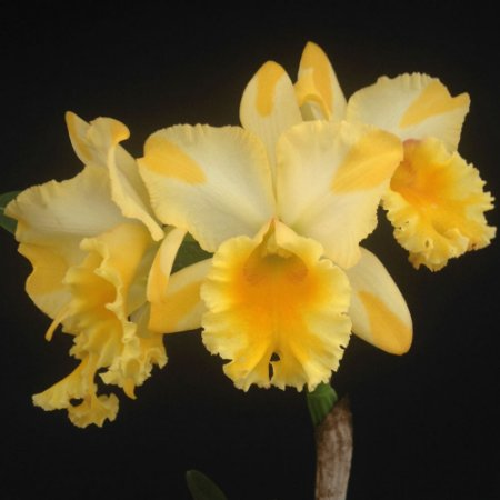Blc. Suzuki's Golden Stripe - Adulta