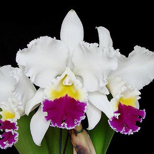 Blc. Mikkie Nagata 'Orchidlibrary' - Tamanho 3