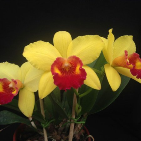 Pot. Little Toshie 'Golden Country' - Adulta