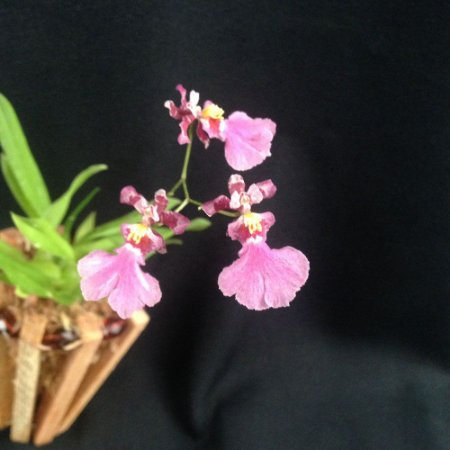 Oncidium Mini Cherry com Cachepo - Adulta