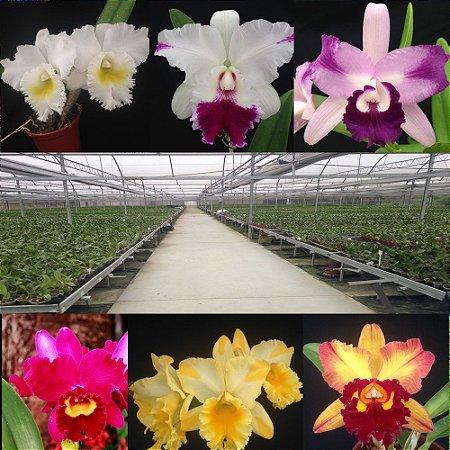 Kit 10 Orquídeas Adultas