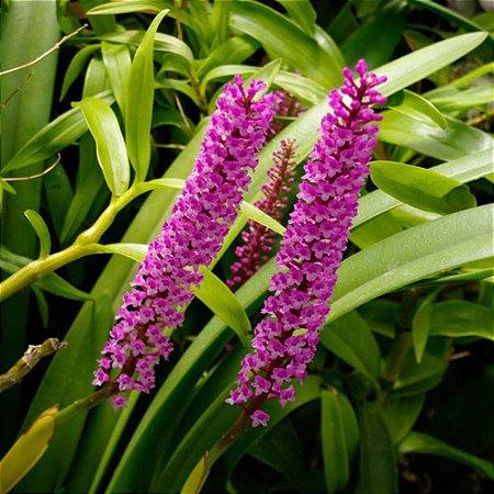 Harpophyllum Giganteum - Adulta