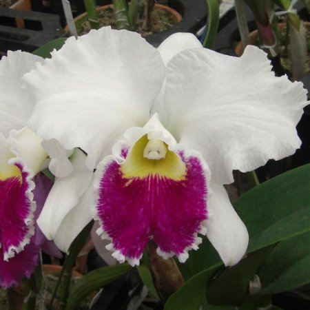 "Blc. Mildred Rives ""Orchid Glade"" - Tamanho 3"