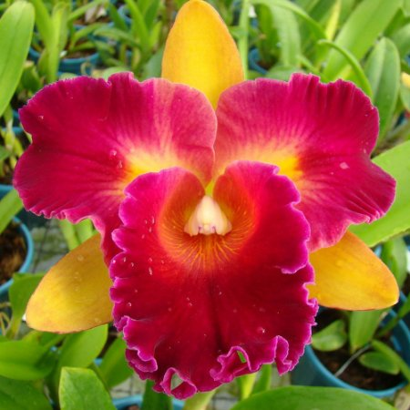 Blc. nobile's tropical sunset 'kinriu' - Tamanho 3