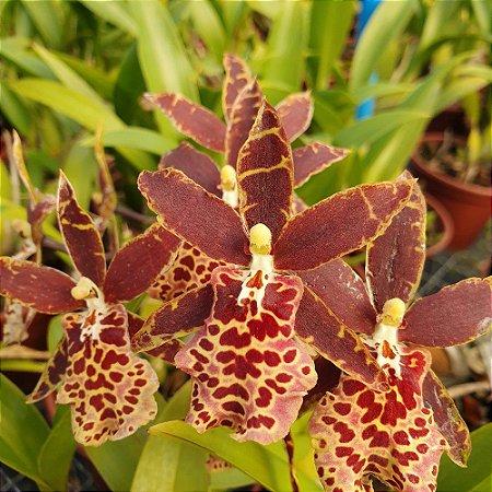 Brassia Marrom - Adulta