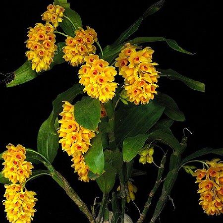 Dendrobium Sulcatum - Tamanho 3