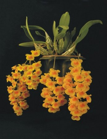 Dendrobium Agregatum Lindleyi Promocional - Adulta
