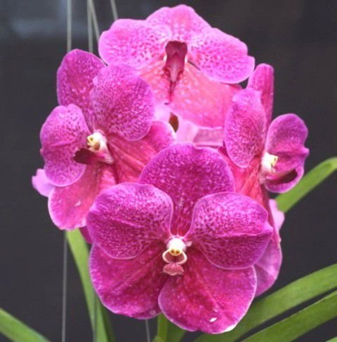 Vanda Pat Delight 'Red' - Pré Adulta