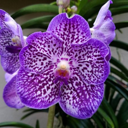 Vanda Thonglosand 'Grape' - Pré Adulta