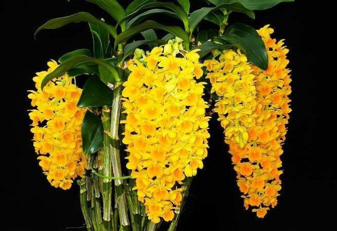 Dendrobium Densiflorum - Tamanho 3