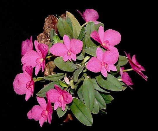 Sophronitis Wittigiana Rosea - Adulta