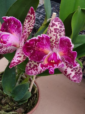 Blc Durigan Aquarius Tetraploide - Planta Unica