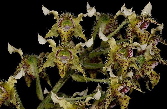 Dendrobium Polysema - Tamanho 3