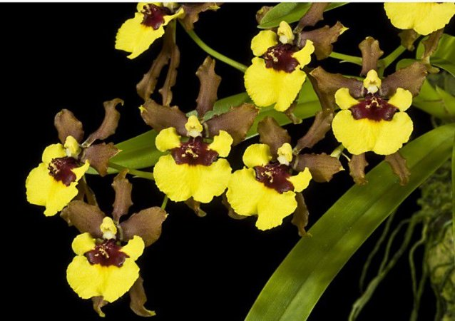 Oncidium Croesus - Adulta