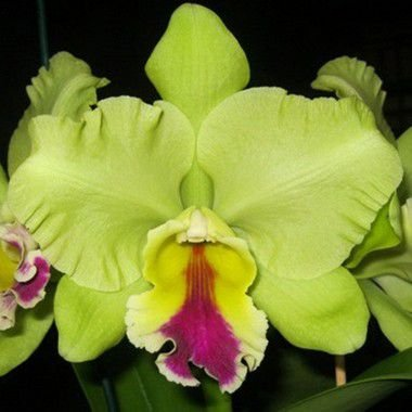 Blc. Memoria Helen Brown - Adulta