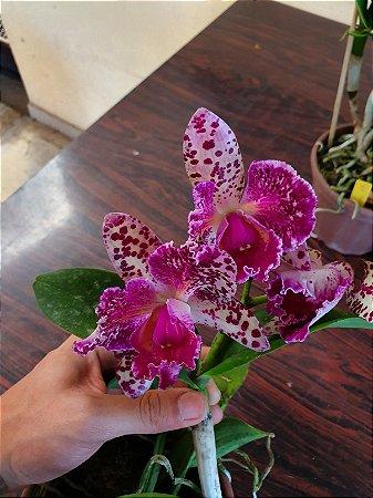 Blc. Durigan Aquarius Tetraploide #6 - Planta Unica