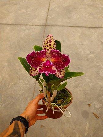 Blc. Durigan Aquarius Tetraploide #11 - Planta Unica