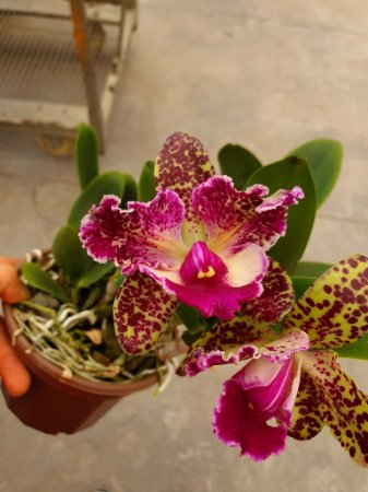 Blc. Durigan Aquarius Tetraploide #16 - Planta Unica