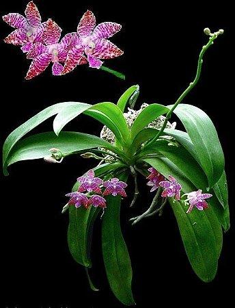 Phalaenopsis Lueddemanniana - Pré Adulta